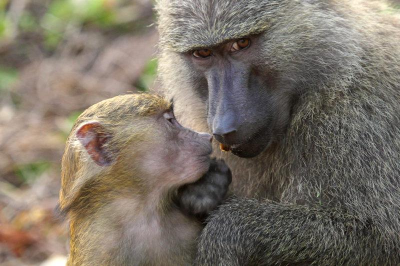 baboons tanzania