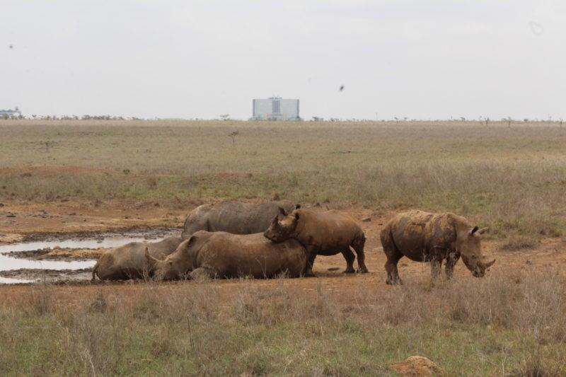rhinos-safari-kenya