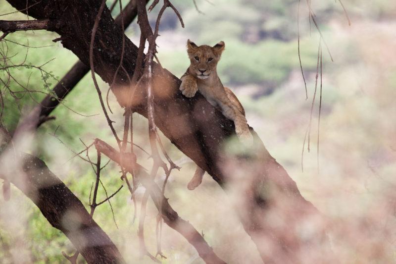 manyara lake park lion