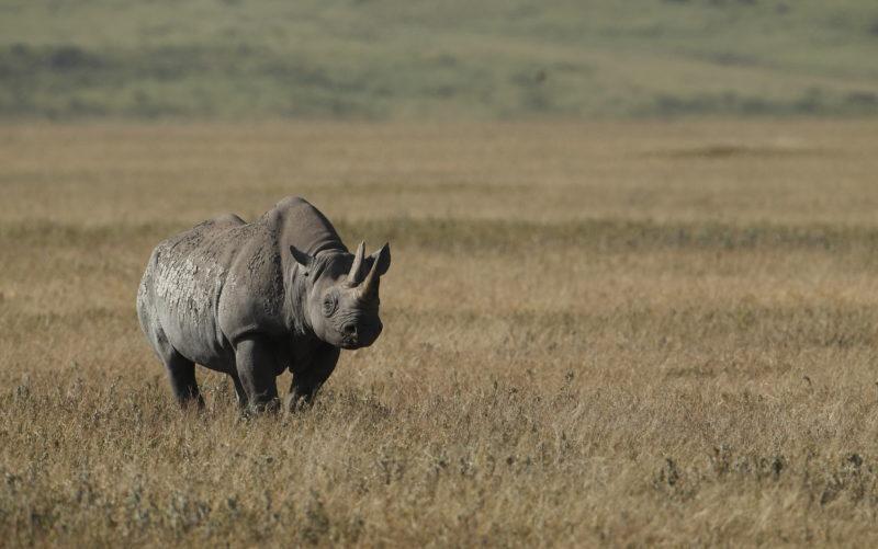 rhino ngorogoro