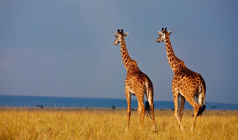 Giraffes in the Masai Mara National Reserve