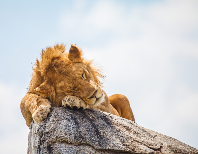 lion-tanzania-safari