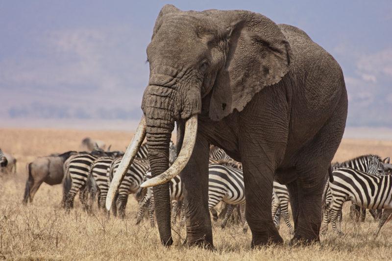 ngorongoro-elephant-safari