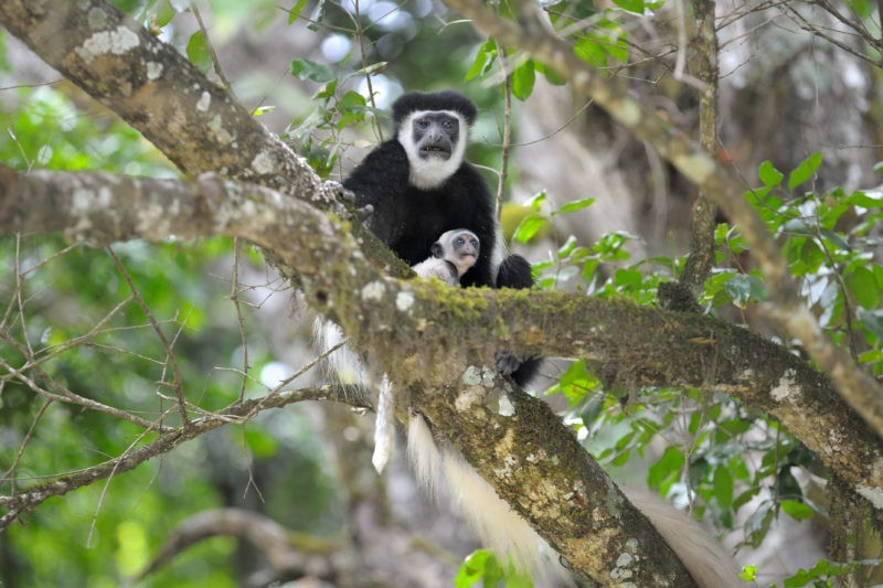 monkey tanzania arusha
