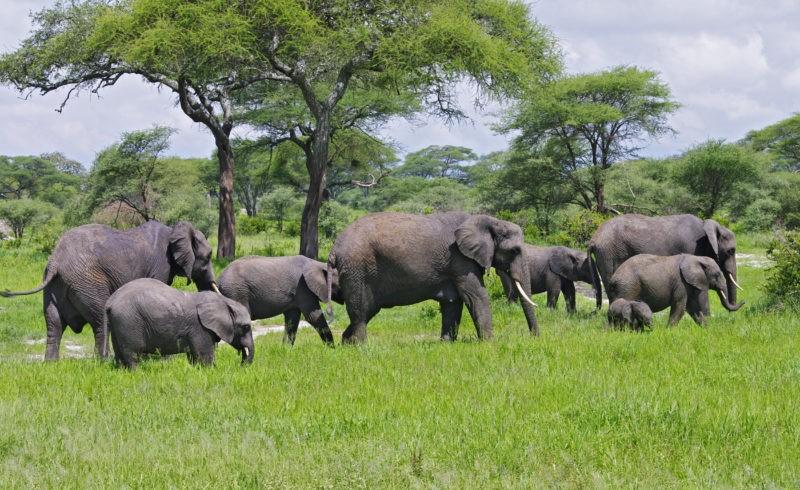 elephant-herds-tarangire