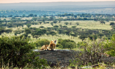 How to Plan The Ultimate Lion Safari