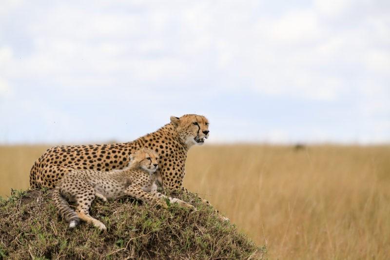 tanzania-serengeti-cheetahs