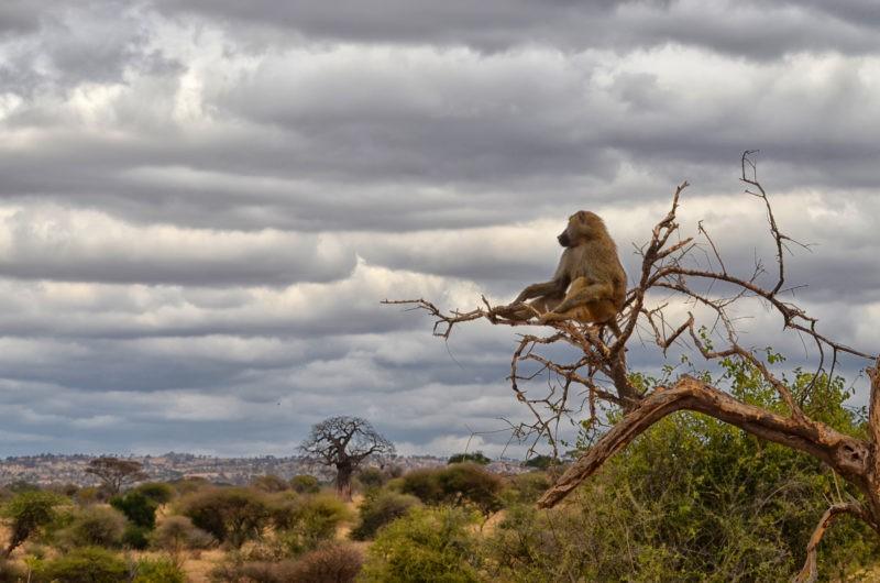 tarangire-baboon