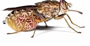 tse-tse-fly-safari-tanzania