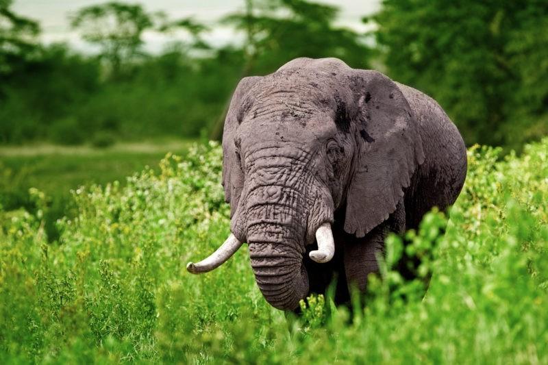 Elephant_Ngorongoro