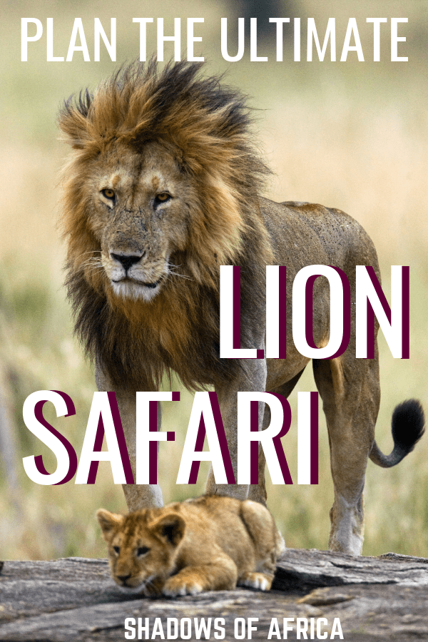 Do you want to see lions on your African safari? Here's how to plan the ultimate lion safari on your travels to East Africa! #lion #safari #africa #travel #tanzania