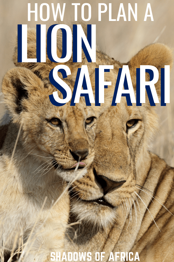 Want to experience a lion safari in Africa? Here's how to see lions on your travels to East Africa! #safari #africa #lion #travel