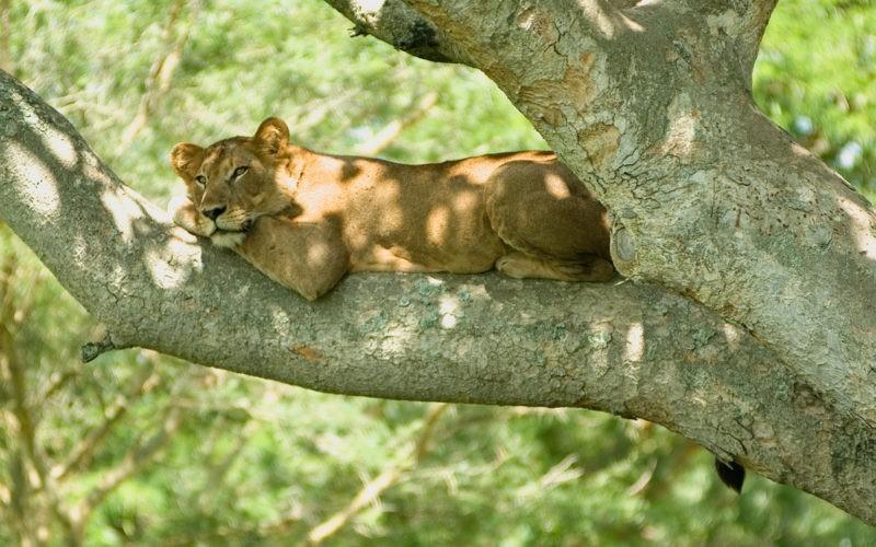 Tree_lion_uganda