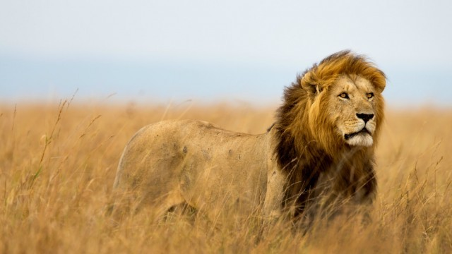 masai-mara-lion