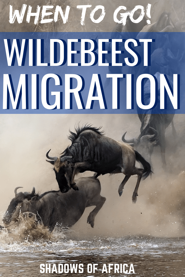 Want to see the wildebeest migration in Africa? Here's when to go to Tanzania and Kenya for your safari trip. Whether it's the Serengeti or the Masai Mara, here's how to see the wildebeest migration! #tanzania #kenya #wildebeest #migration #travel #africa #safari