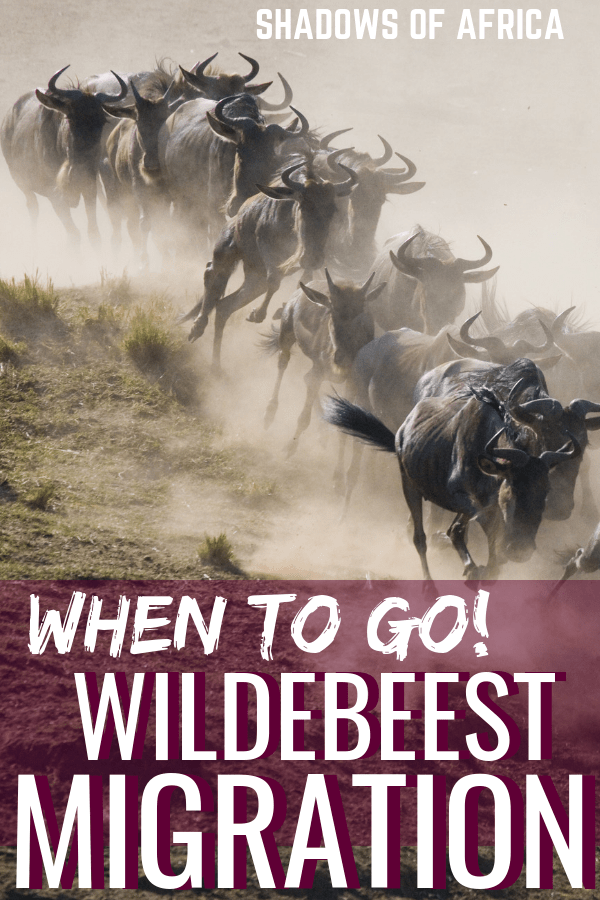 Looking to see the African wildebeest migration in Kenya or Tanzania? Here's when to plan your African safari trip to catch the wildebeest migration in action! #tanzania #kenya #africa #safari #wildebeest #migration #travel
