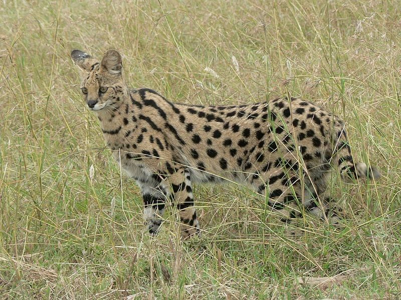 SERVAL CAT _ SERENGETI