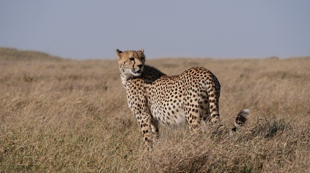 Big cat Serengeti – cheetah