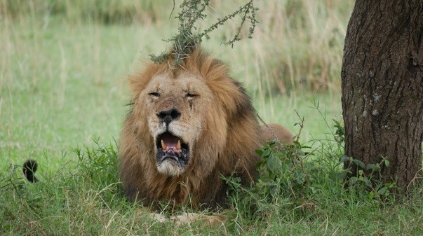 Big cat Serengeti – huge scarred male lion