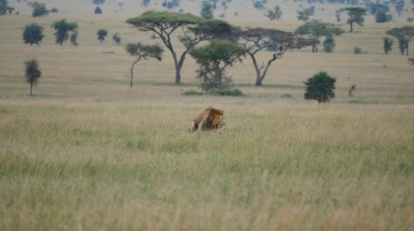 Big cat Serengeti – lions mating