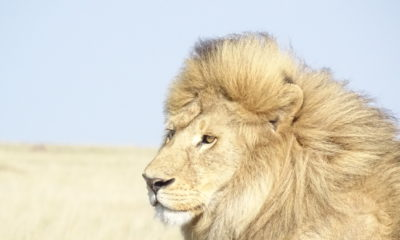 Big cats in the Serengeti