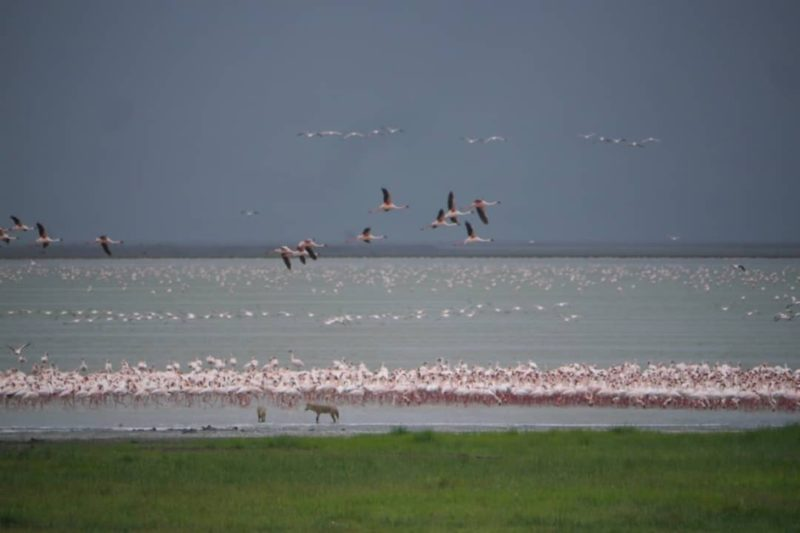Flamingos and jackal out over Lake Manyara