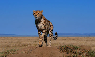 Cheetah on the Car