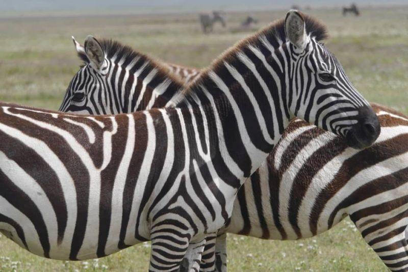 Zebra resting in the Ngorongoro crater