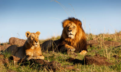 Taking a Lion King Safari in Tanzania and Kenya