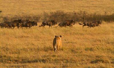 Lions kill Wildebeest in the Serengeti National Park