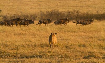 Lions kill Wildebeest in the Serengeti National Park