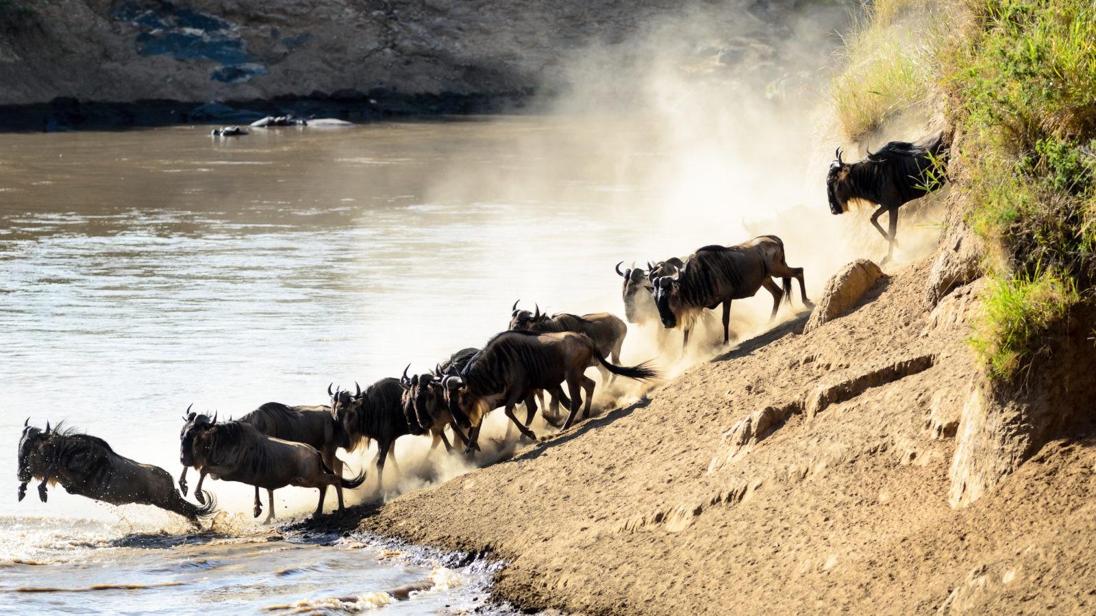wildebeest migration masai mara kenya maasai mara