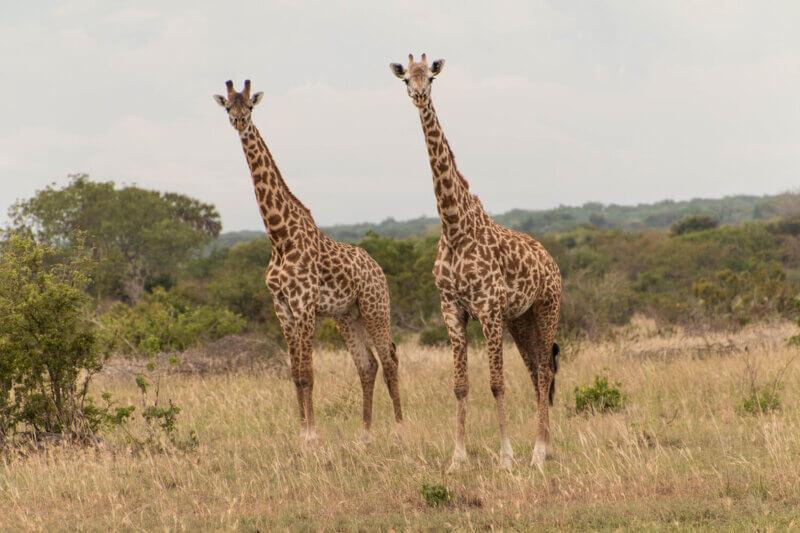 giraffe in saadani national park