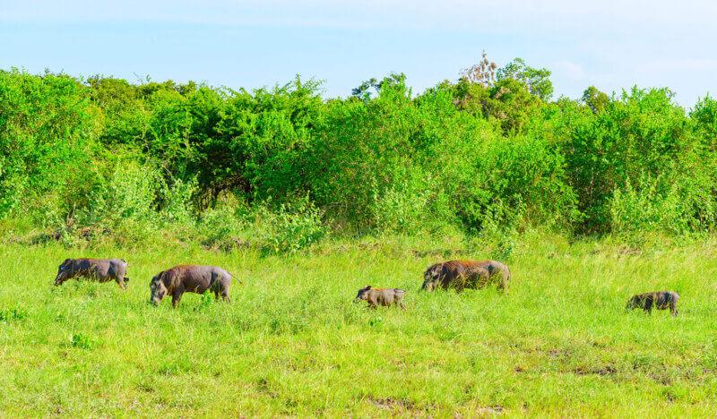 safari from zanzibar saadani national park
